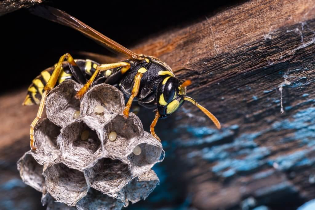 Pszczoła składa jaja